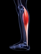 Gastrocnemius photo credit: Dreamstime
