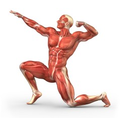 http://www.interactive-biology.com/3373/the-muscular-system-how-we-move-around/