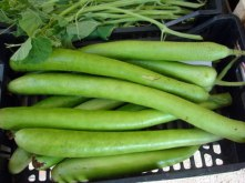 http://www.urbanfarmonline.com/community-building-and-resources/urban-farm-bloggers/urban-farmer-rick-gush/cucuzza-squash.aspx