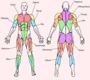 http://anatomycharts.us/tag/muscle-anatomy-back-human-body/